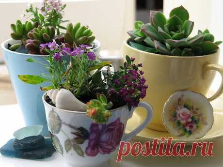 (8) succulents in china cups | Succulent Plants