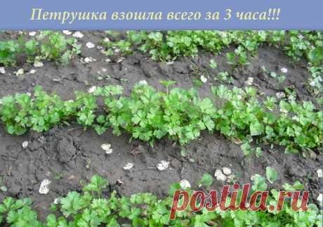Большинство дачников знают что петрушка всходит довольно долго.... А знаете ли вы, что петрушку можно вырастить буквально в течение 3 часов?  Этот рецепт часто использовался как... фокус.  Размочите семена петрушки в свежем молоке и, трижды посыпав предназначенную для посева землю негашеной и мелкотертой известью, высадите в нее подготовленные семена, землю немного смочите сверху (не проливая глубоко) водой. Через 3 часа появятся всходы.  Весна не за горами. Запишите - пригодится!!!