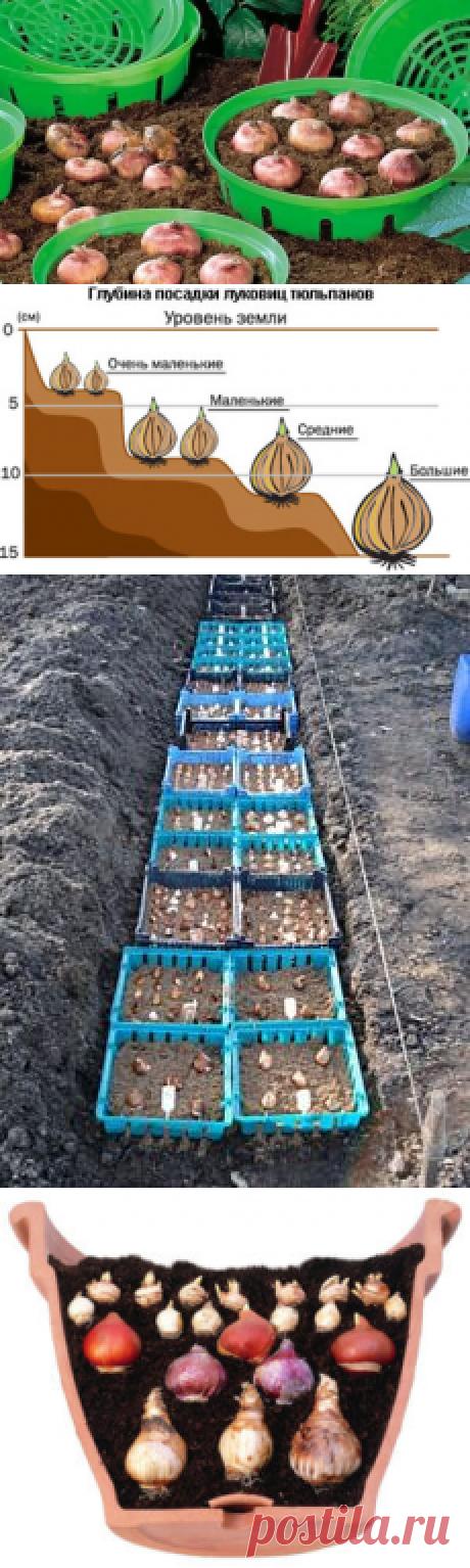Посадка тюльпанов осенью: хитрости бывалых | В темпі життя