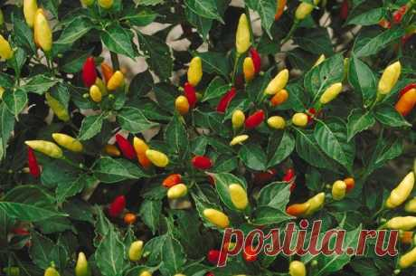 Личный опыт: выращиваем декоративный перец на участке Татьяна Носкова, читатель «АиФ» делится опытом выращивание декоративного перца.