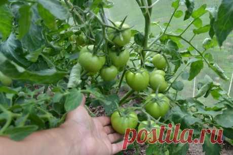 Что делаю, чтобы ускорить созревание томатов на кустах. 4 простых способа   Дачные секреты от Виктории Радзевской   Яндекс Дзен