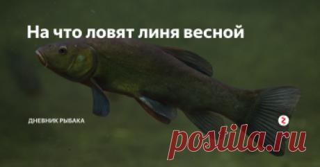 На что ловят линя весной Весенняя рыбалка заставляет рыболовов-любителей ужения линя постепенно уходить от зимних предпочтений наживок. И это связано, прежде всего, с появлением молодых побегов водных растений, которые приходятся по вкусу рыбе. В свой рацион линь включает не любую растительность, а увлекается поеданием строго определенных видов. Так на что в весеннее время можно ловить линя? Чем заинтересовать голодную ры