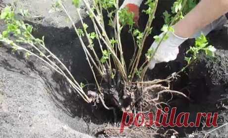 Пересадка смородины весной и осенью на новое место: пошаговая инструкция