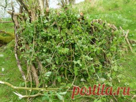 Личный опыт: как размножить зелеными черенками трудноукореняемые растения | Личный опыт (Огород.ru)