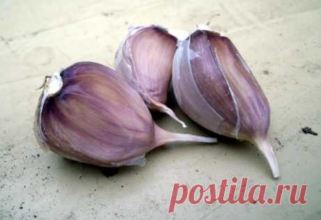Winter garlic: landing and reproduction