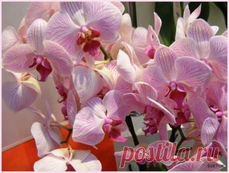 Орхидея | Цветик-семицветик