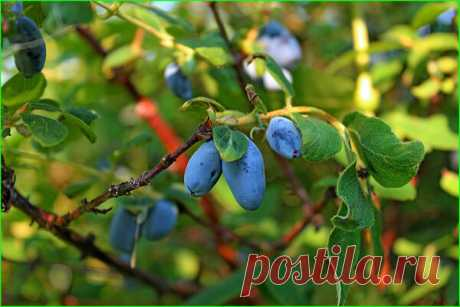НЕВЕРОЯТНЫЙ УРОЖАЙ ЖИМОЛОСТИ! Как добиться максимального урожая ягод жимолости, применяя минимальный уход? Простые правила, позволят вам добиться максимального результата этих полезных ягодок. Уход за жимолостью, почти такой же, как и за кустарниками черной смородины...