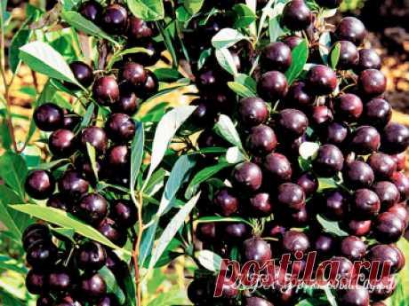 Вишня Бессея Вишня Бессея — подвид низкорослой песчаной вишни, которая произрастает в Южной и Северной Америке.
