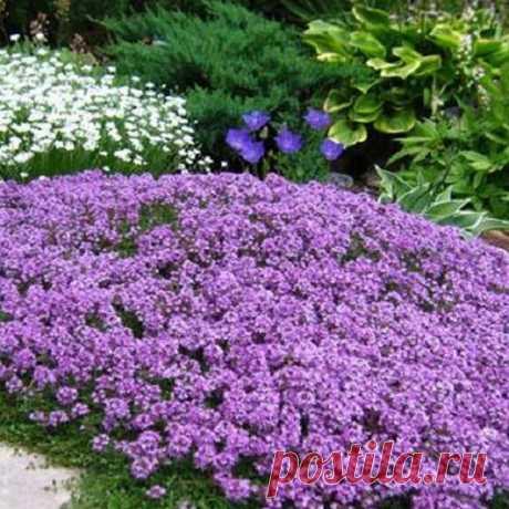 Тимьян ползучий – Цветник поволжья