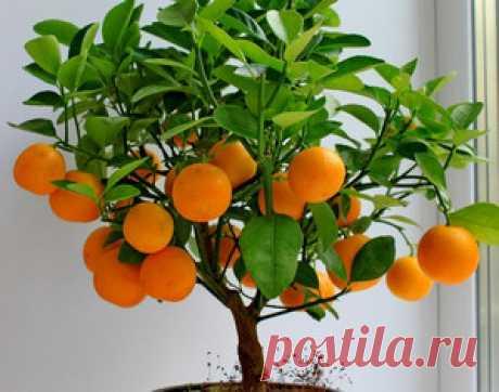 Какой уход необходим мандариновому дереву в квартире?