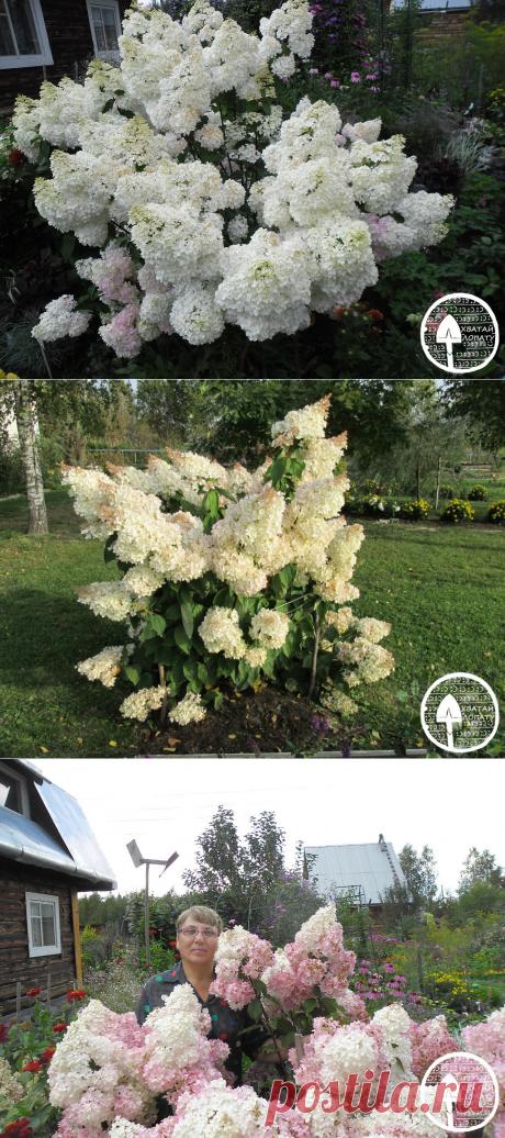 Гортензия метельчатая Грандифлора – посадка и уход, описание, подкормка, обрезка, укрытие + фото