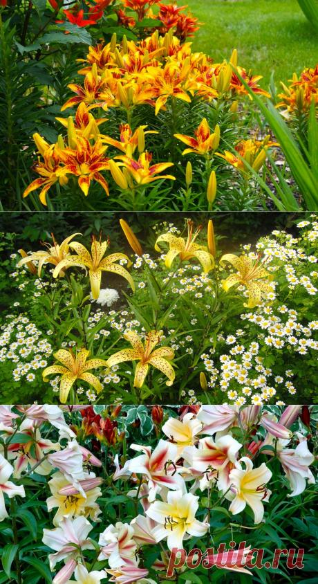 Как вырастить красивые лилии на приусадебном участке
