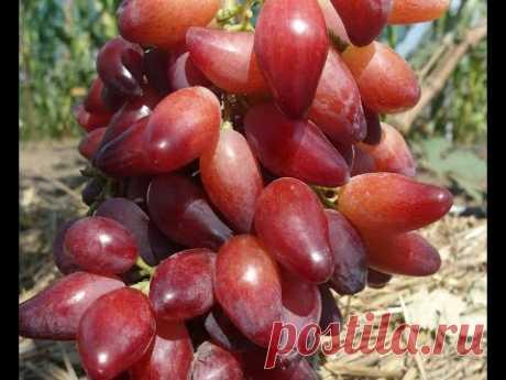 Обзор ранних и ультраранних сортов винограда.