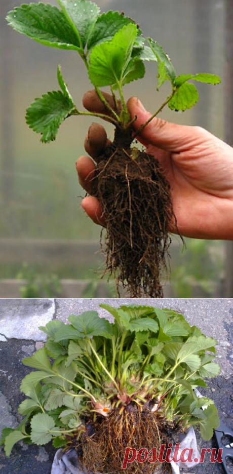Вкусный Огород: Рассада садовой земляники. Зимнее хранение.
