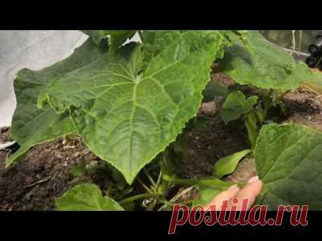 Как УВЕЛИЧИТЬ урожай  ОГУРЦОВ,100% результат, в стадии активного роста,личные наблюдения