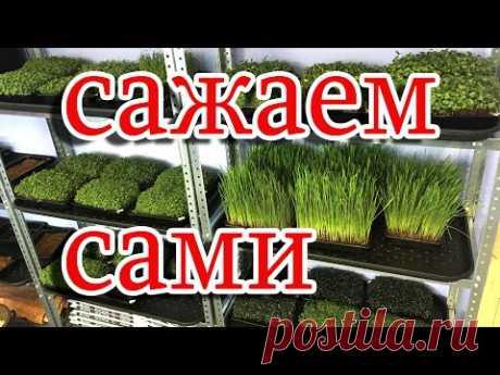 посадка микрозелени на подоконнике. если хочется попробовать:) посадить своими руками