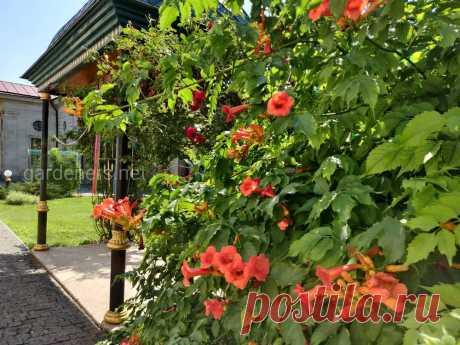 Вьющиеся садовые растения создают тень и служат защитой частной жизни   Огородники Вьющиеся садовые растения.