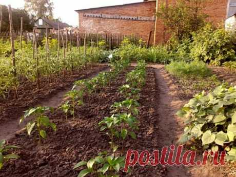 Живая вода для огорода (Секреты моей бабули.) | Се ля ви. | Яндекс Дзен