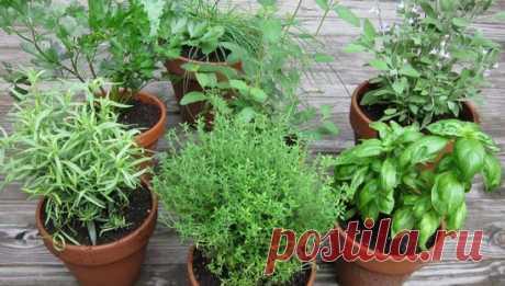 Выращиваем пряные травы на подоконнике!