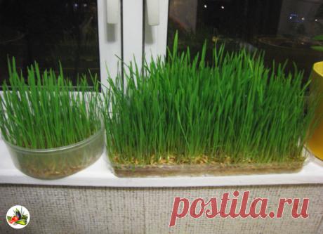 👍 Как я выращиваю лук на перо в опилках дома. | Урожайная грядка ❀ | Яндекс Дзен