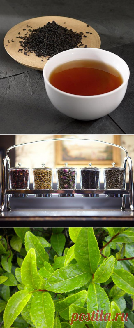 Лучшие сорта чая :: SYL.ru