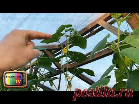 Огурцы уперлись в потолок теплицы?! Делюсь секретом как формировать дальше и увеличить урожай