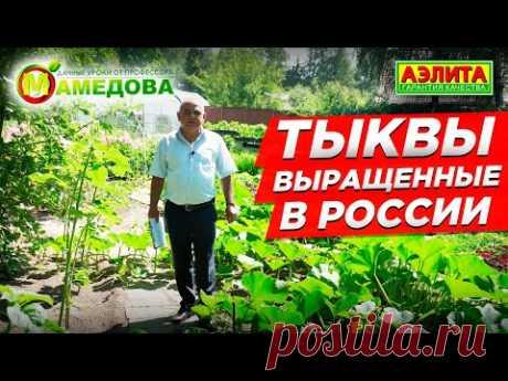 Выращивание тыквы в России. Особенность сортов тыквы