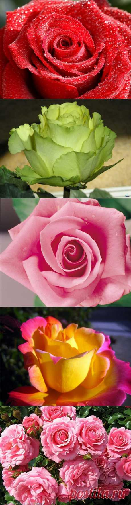 розы фото: 2 млн изображений найдено в Яндекс.Картинках