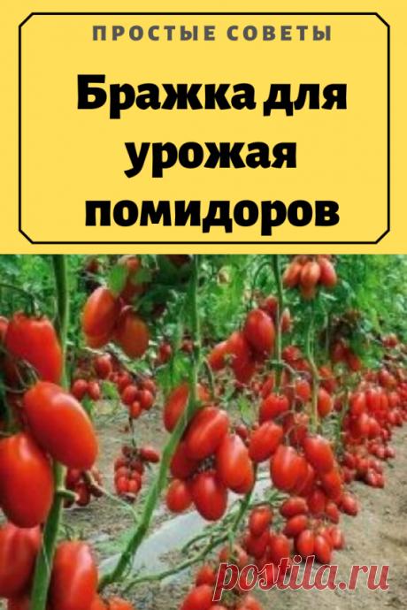 Бражка для урожая помидоров — Простые советы