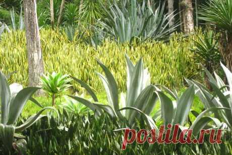 Щучий хвост: родина сансевиерии, где растет цветок