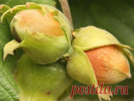 Орешник на даче      ЛЮБИМАЯ ДАЧА                                      Орешник на даче Рядом с нашими участками можно встретить дикорастущие плодовые культуры, это калина, ирга, орешник. Орешник – орехоплодная культу…