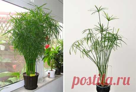 Цветок «Циперус»: описание, фото, размножение, уход в домашних условиях, размножение