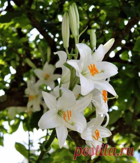 Лилия белоснежная (Lilium candidum)
