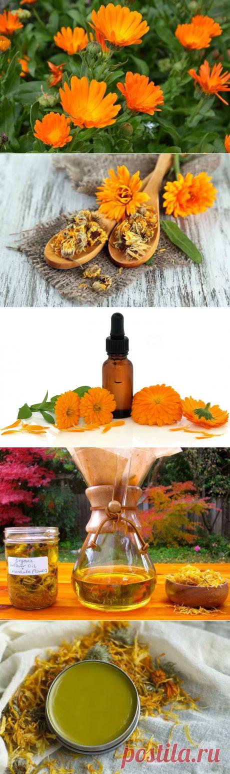 Календула - лечебные свойства, применение и противопоказание