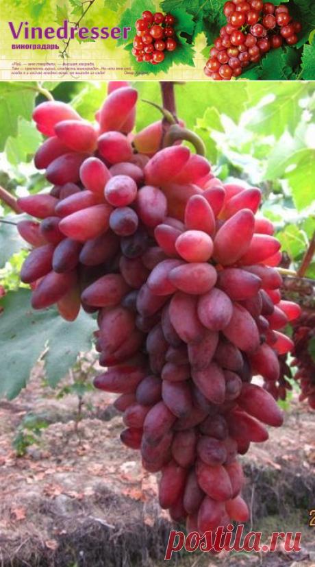 Сорт винограда Pizzutello Rosso - описание и фото
