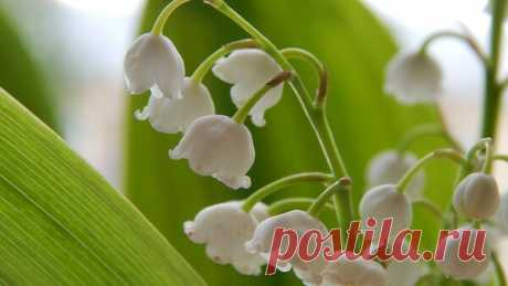 первые весенние цветы в саду   Блоги о даче, рецептах, рыбалке