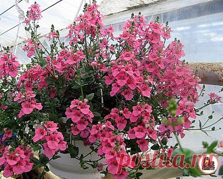 10 необыкновенно красивых ампельных цветов, которые буквально преобразят ваш сад. Рассказываю о каждом (+ фото) | Цветущий сад | Яндекс Дзен