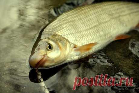Рыбалка на подуста. Особенности ловли этой интересной рыбы   Рекомендательная система Пульс Mail.ru