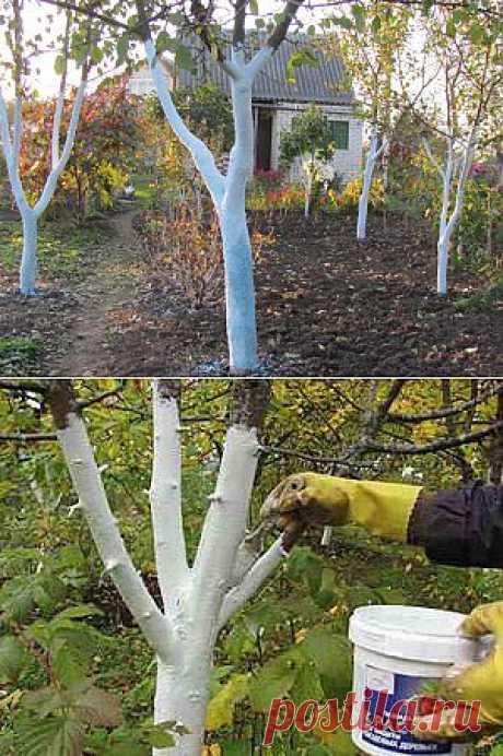 Белить деревья – как, когда и зачем   Дача - впрок