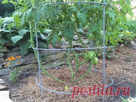 Формирование детерминантных кустов томата.