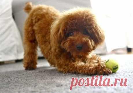 Той-пудель: виды стрижек собак, фото и описание