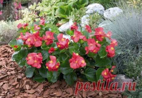 Бегония вечноцветущая: размножение и уход в домашних условиях