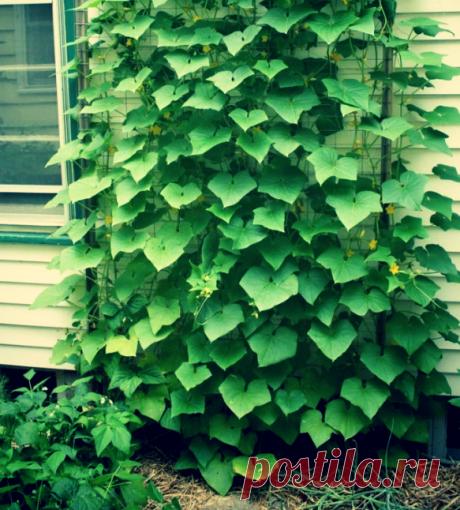 Знакомый агроном поведал, чем опрыскивать огурцы каждые 6-8 дней, чтобы они не болели, а урожай был большим | Твоя Дача | Яндекс Дзен
