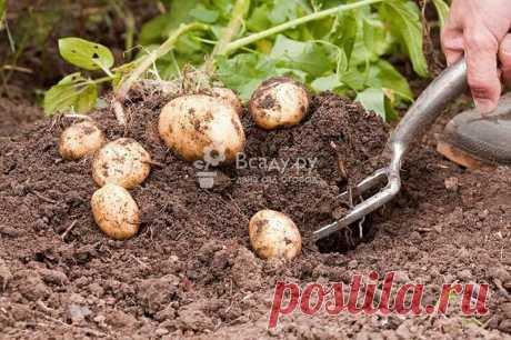 Выращиваем картошку по методике Балабанова Как увеличить урожайность картофеля: особенности посадки и ухода за картошкой по методу Балабанова. Техника довсходового окучивания картофеля, полив