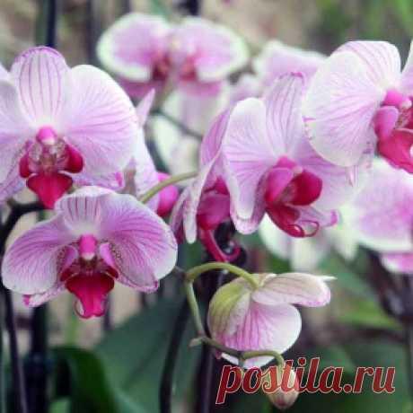 Всегда использую этот метод, чтобы все мои орхидеи постоянно цвели! и вам рекомендую…