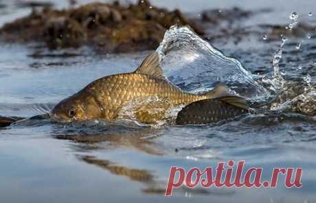 Когда у карася начнется жор: укажут народные приметы   Рыбалка-БЛОГ    Яндекс Дзен