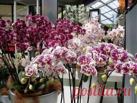 СЕКРЕТЫ РАССАДКИ ОРХИДЕЙ: КАК 1 РАСТЕНИЕ ПРЕВРАТИТЬ В 100! Орхидея — это любимый цветок многих цветоводов. Он считается очень требовательным. Однако многие орхидеи хорошо растут в доме и без особого ухода. Если ты хочешь, чтобы твое жилище превратилось в целую оранжерею с цветами, не нужно сильно тратиться. Мы подскажем тебе, как превратить 1 цветок в 100. Те, кто уже опробовали этот метод, не могут налюбоваться красотой орхидей в своем доме. Как улучшить рост корней? Купи мох сфагнум, который