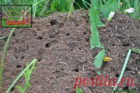 #советы  Сода от муравьев   Докучливых муравьев на огороде у нас не мало.Вот еще один из довольно простых способов от них избавиться.Разводим в 10 л воды 1 пачку соды и заливаем полученный раствор в пластмассовые бутылки, в которых крышки прокалываем в нескольких местах. Теперь мы во всеоружии. И когда во время прополки встречаются муравьиные гнезда, необходимо разворошить их тяпкой, полить содовым раствором и закрыть обратно землей. Делать это лучше вечерком, а к утру муравьи обычно пропадают.