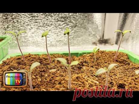 Как в момент остановить вытягивание рассады помидор без супер средств и подкормок