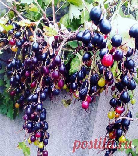 Смородина золотистая. Сорта золотистой смородины, размножение, посадка и уход - Сайт о растениях
